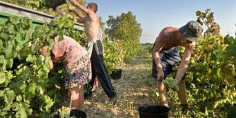 image: Da vinlusa ødela røddruestokkene, begynte bøndene å lage cava