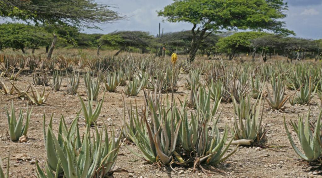 PLANTASJE: Opptil ti prosent av Arubas jordsmonn er dekket av aloe vera-planter som brukes i produksjonen av øyas mange kosmetiske produkter. Foto: Eivind Pedersen