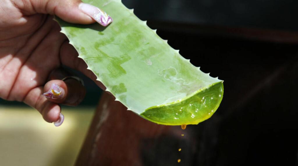 VANNDRIVENDE: Den oransje saften fra aloe vera-plantene på Aruba er ettertraktet i kosmetikk og brannsalver. Hvis du drikker bare èn slik dråpe, må du gå på do i timesvis! Foto: Eivind Pedersen