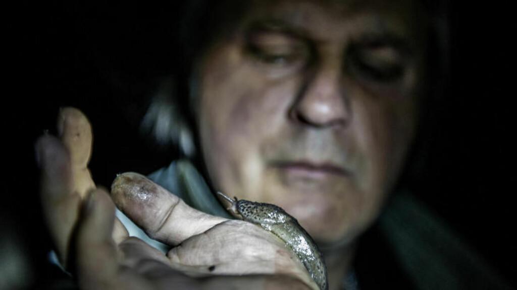 KANIBAL:  Leopardsneglen dreper ikke bare brunskogsneglen med sin unike tann, den tar også egne. Derfor vil ikke denne snegletypen innvadere hagen din i like stor grad. Foto: John T. Pedersen / Dagbladet