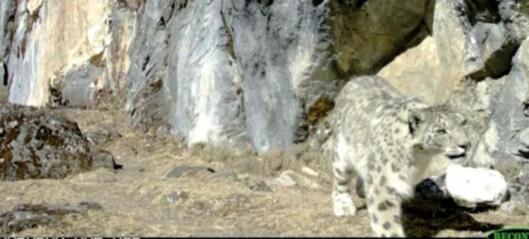 Denne videoen kan være godt tegn for snøleopardene