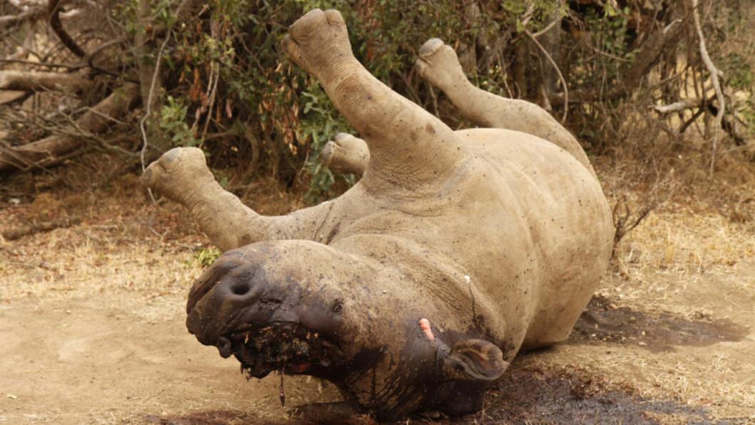 <strong>DREPT FOR SITT HORN:</strong> Et neshorn ligger igjen i Kruger-parken - et av Sør-Afrikas mest populære turistmål - etter at tyvjegere har etterlatt det for å dø. Hornet er kappet av. Minst 433 neshorn ble drept i Sør-Afrika i fjor. Foto: Reuters/Ilya Kachaev/Scanpix