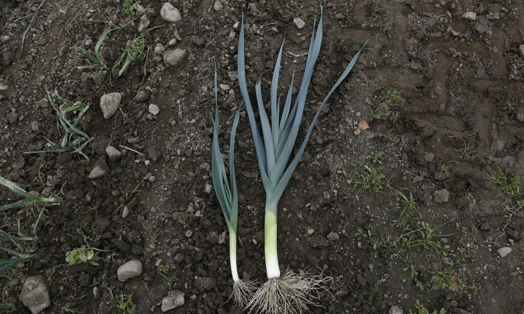LITEN OG STOR: På Toten eksperimenterer bonde Per Odd Gjestvang med minipurre. Han har funnet en sort med spesielt delikat smak. Minipurren er kortskaftet og har ikke så mye av det harde grønne. Det betyr at mindre må kastes. Flere små purrer i en pakke gjør grønnsaken mer anvendelig grønnsak, mener bonden. Foto: KRISTIN SVORTE