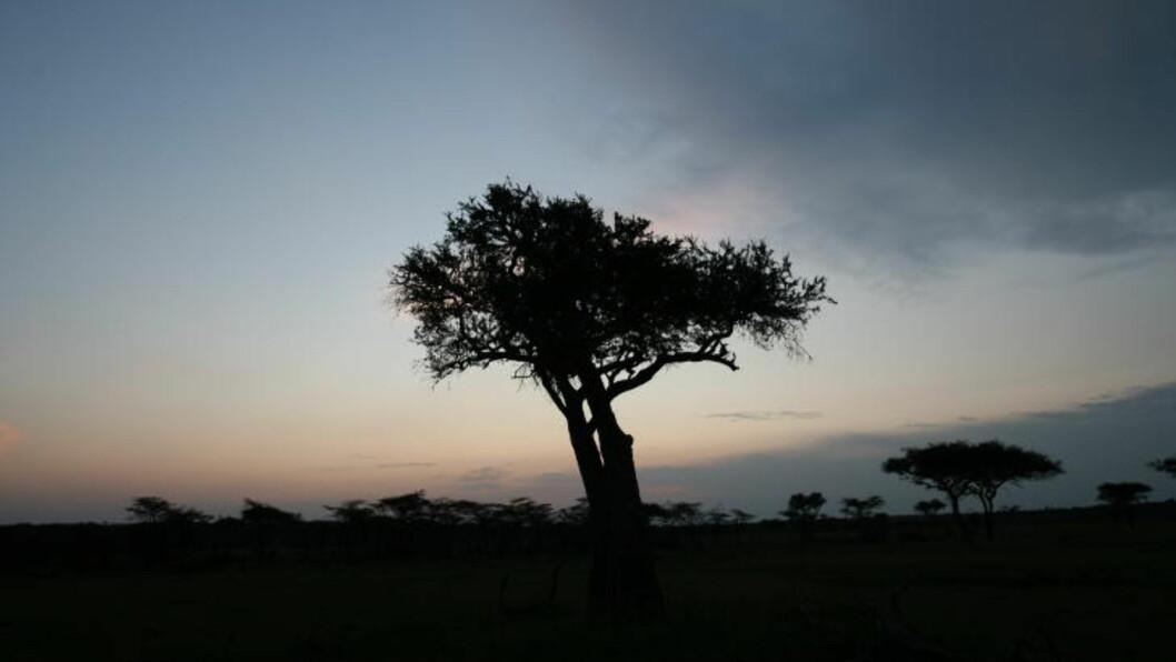 <strong>NATTNATUR:</strong> De vakre akasietrærne pryder savannen, som om natta er full av lyder. Alle foto: SNORRE BRYNE OG NORA BREMNÆS
