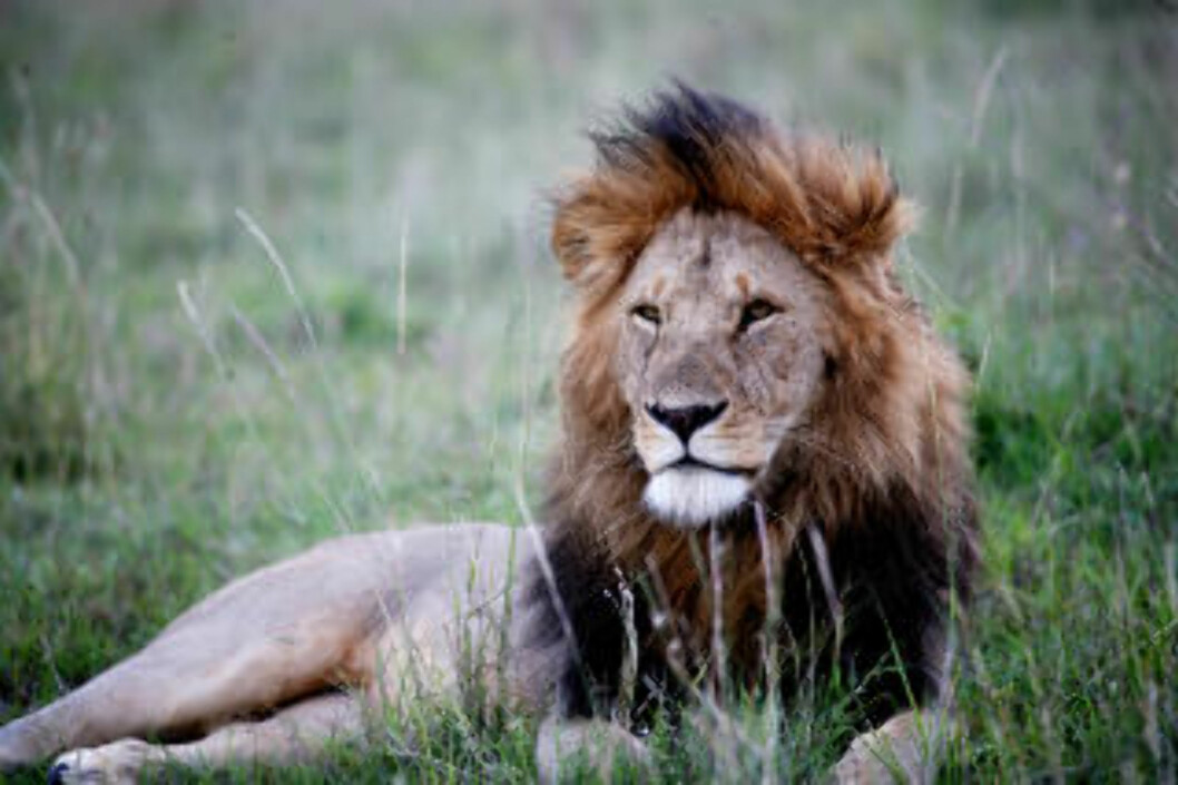 <strong>ENSOM MAJESTET:</strong> Hannløven er ikke bare dyrenes konge, men også savannens.