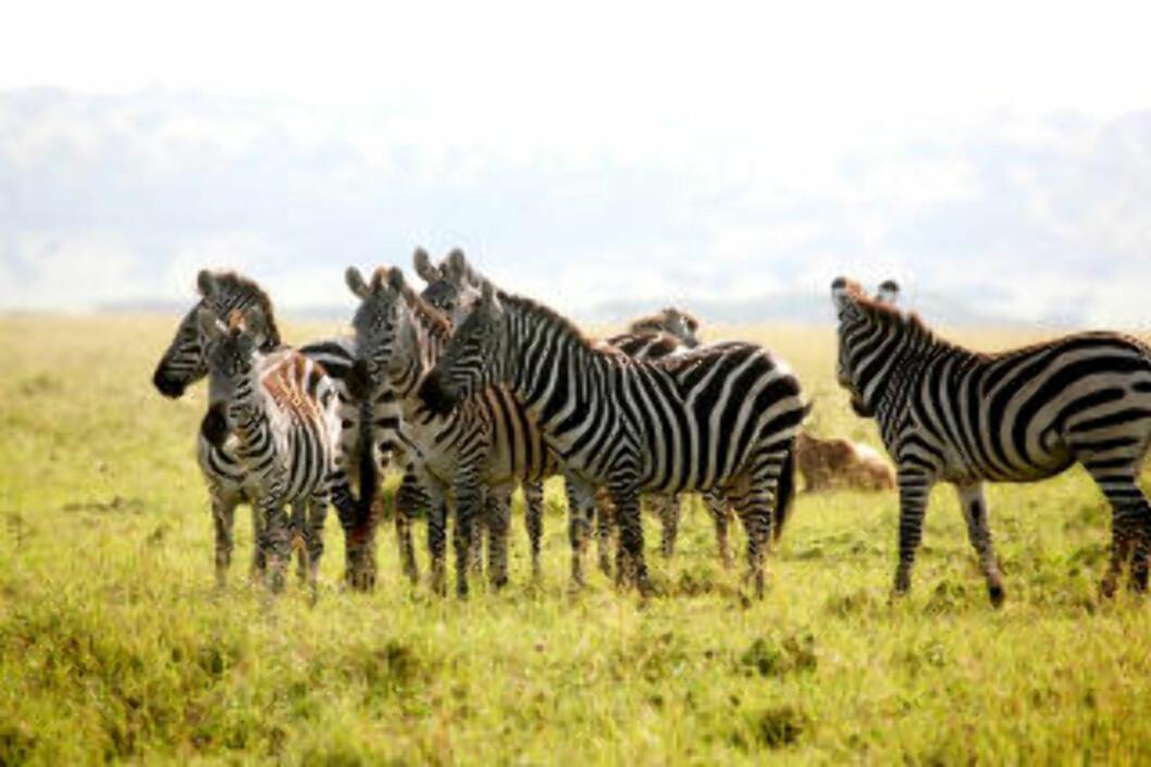 <strong>VANLIG SYN:</strong> Hvert år trekker millioner av dyr nordover til Masai Mara fra Serengeti. Her en sebraflokk.