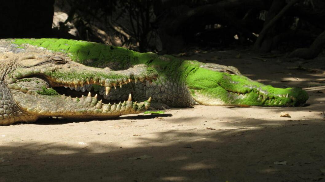 <strong>Farlige dyr:</strong> To ganger på under to måneder har krokodillene i Nusa Tenggara-provinsen tatt barneliv. Illustrasjonsfoto: AP Photo/Jon Gambrell).