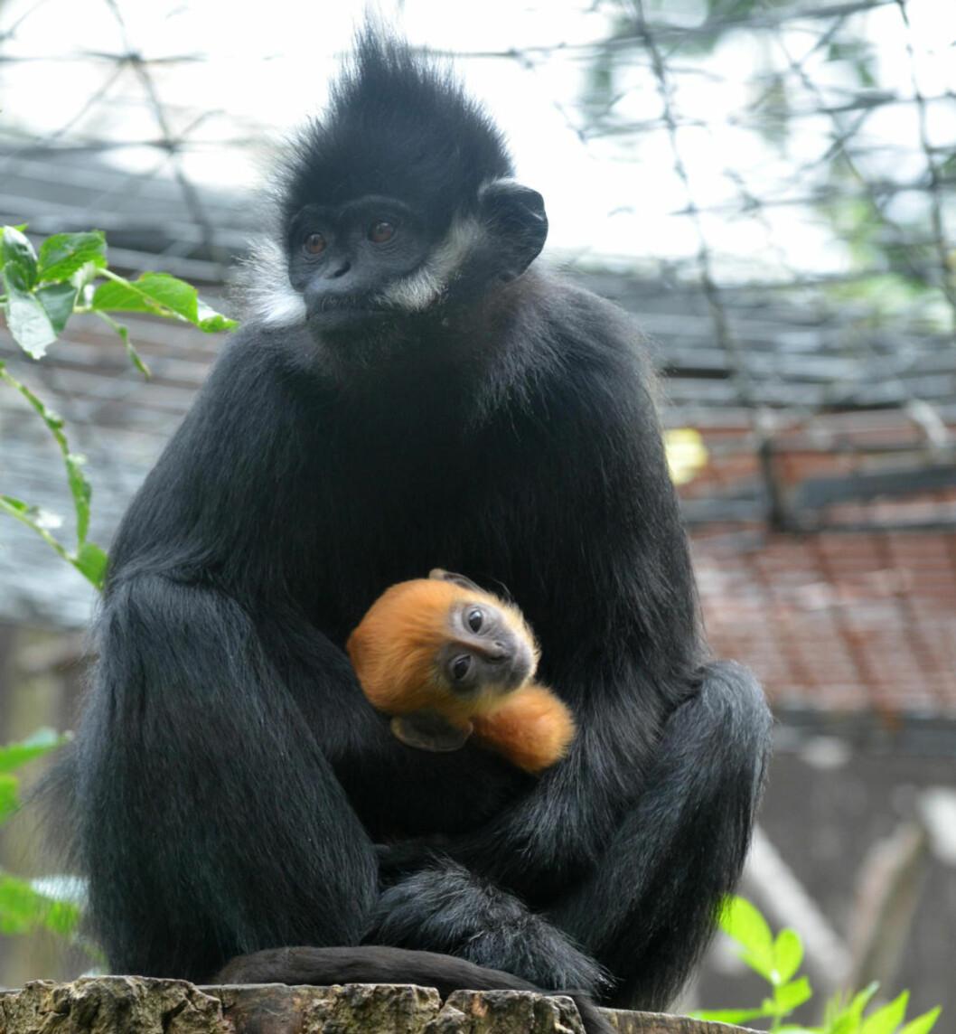 <strong>FARGERIK APEFAMILIE:</strong> De ansatte i ZSL London Zoo er så begeistret for den oransjefødte babyapekatten, at de feirer 1-månedsdagen til Tango med et to-for én-tilbud denne helgen. Foto: CAMERA PRESS/SCANPIX