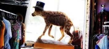 Lyst på en hyene med hatt eller en plakat med eggstokker?