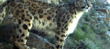 Skjult kamera fanget opp snøleoparder i naturlige omgivelser