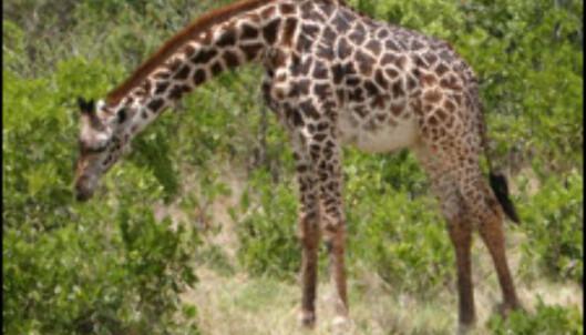 Verdens høyeste dyr, sjiraffen, er blant savannens mest grasiøse skapninger.