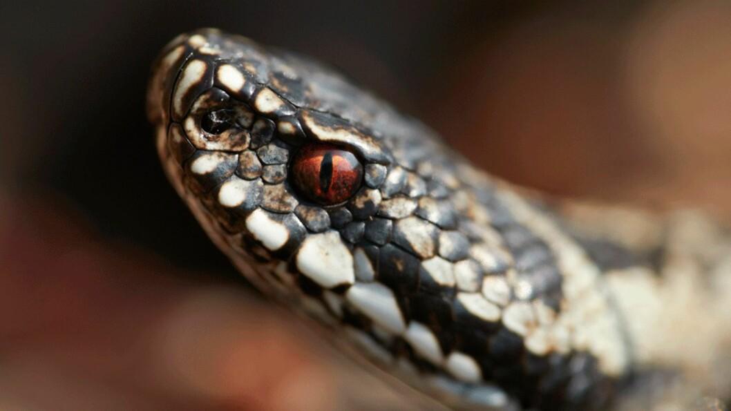 HOGGORM: Bilde tatt av huggorm Frogn, Akershus. Karakteristisk kjennetegn er den avlange pupillen i øyet og sikk-sakk mønster på ryggen. Foto: NTB scanpix/Samfoto v. Næss, Baard