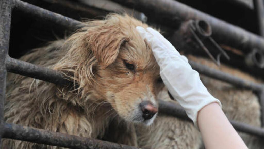 REDDET: Denne lille hunden får en kjærlig klapp av en av representantene som reddet de 500 hundene. Foto: Scanpix