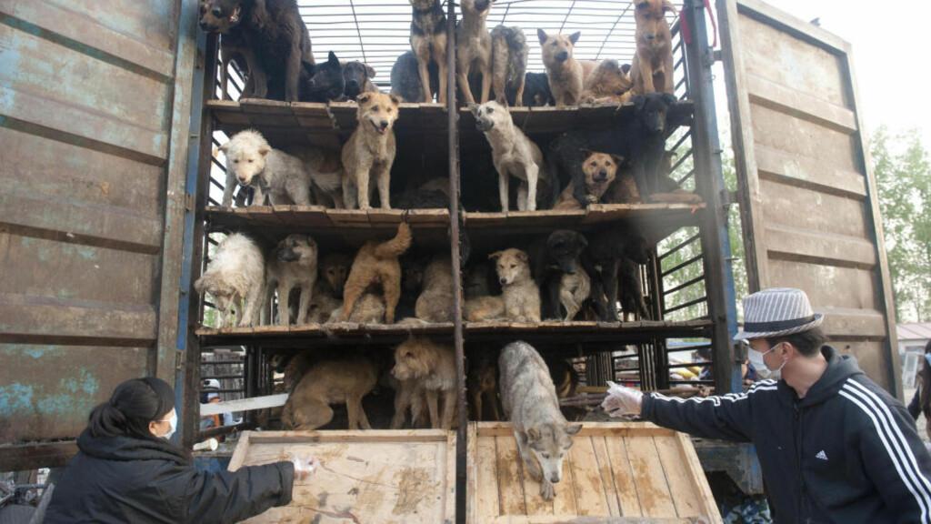 SLIPPES FRI: Her slipper dyrevernerne fri noen av de 500 hundene som egentlig skulle transporteres til et slakteri. Foto: Scanpix