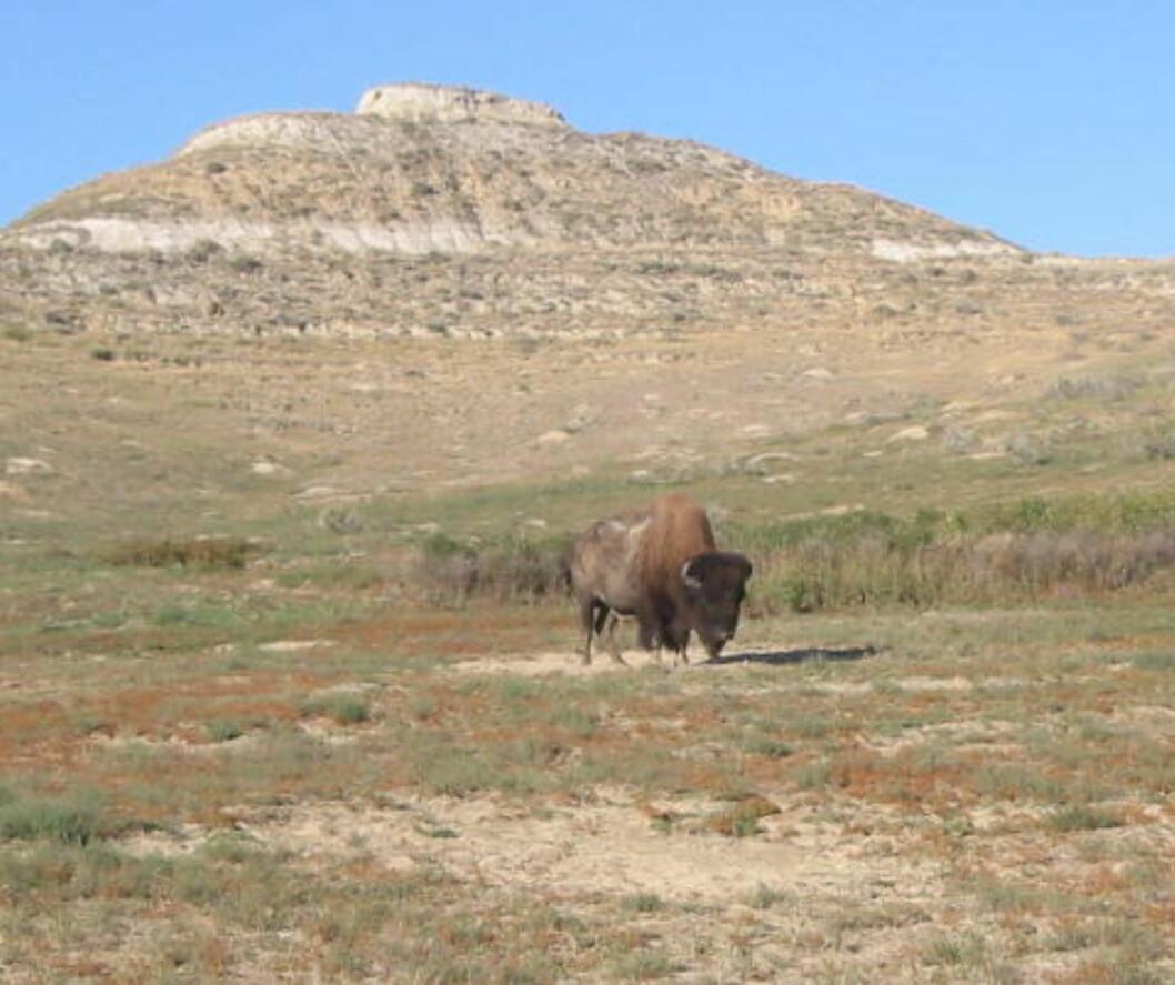 NORD-DAKOTA: Byr på muligheter for villmarksliv i de mange nasjonalparkene. Her amerikansk bison i Theodore Roosevelt  National  Park. Foto: KIRSTEN BUZZI