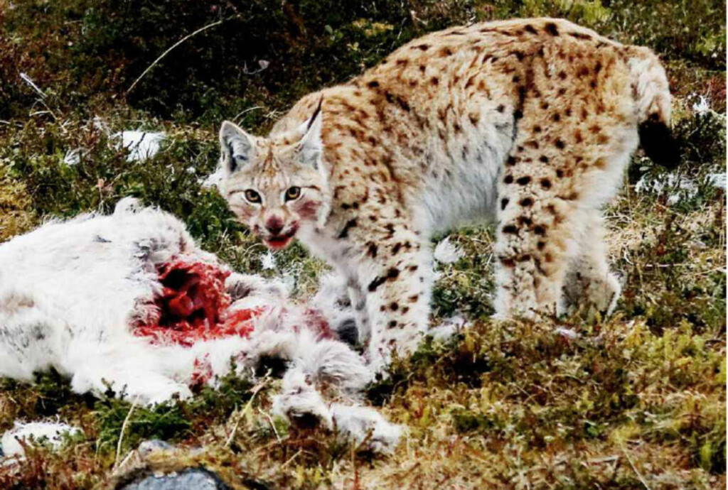 SULTEN: Ifølge reineierne drepte gaupe og jerv en av fire rein i hele Norge i fjor. Foto: Ken Gøran Uglebakken
