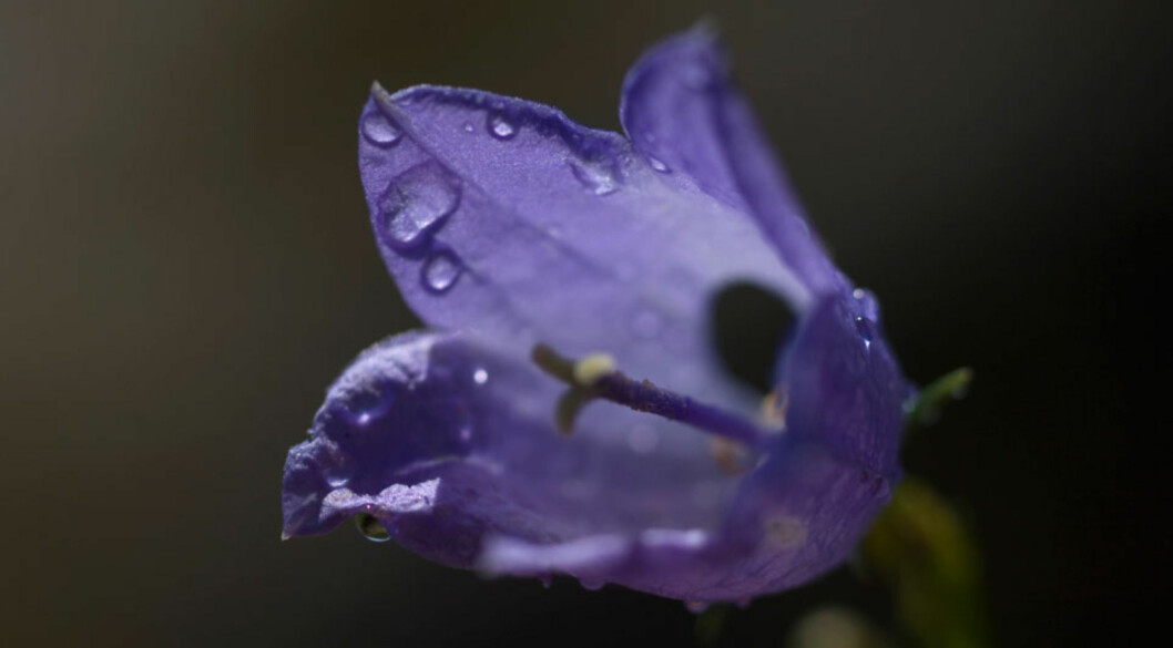 BLUEBELL: Den engelske navnet på blåklokke. Garantert et navn ingen andre i barnehagen har! Foto: NTB scanpix