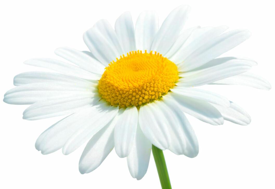 PRESTEKRAGEN: Eller Daisy på engelsk. Foto: Shutterstock.com ©