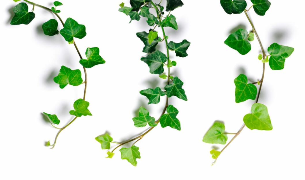 EFØY: eller Ivy på engelsk. Foto: Shutterstock.com ©