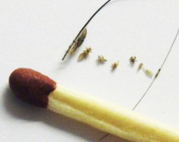 LUS: hodelusene er mindre enn hodet på en fyrstikk. Foto: lusfrinorge.no