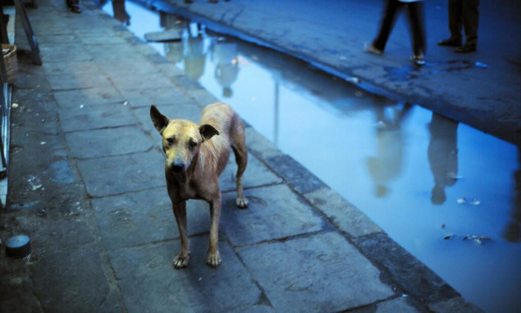 SMITTE: Import av «gatehunder» til Norge fører meg seg en rekke alvorlige og smittsomme sykdommer. Jeg oppfordrer justisminister Anders Anundsen til å ta tak i dette, skriver artikkelforfatteren. Foto: Anders Thormann / Scanpix Denmark / NTB scanpix