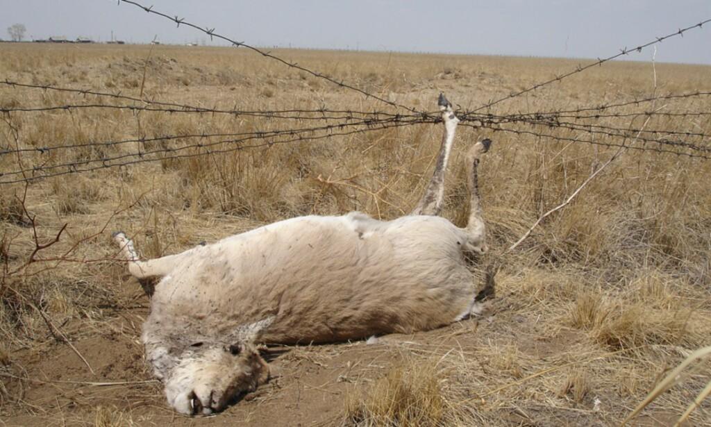 FASTKLEMT: Bildet viser en mongolsk gaselle som døde etter å ha satt seg fast i et gjerde på grensen mellom Mongolia og Russland. Ifølge forskning medfører grensegjerder alvorlige konsekvenser for dyrelivet. Foto: G. Sukhchuluun / Norsk institutt for naturforskning