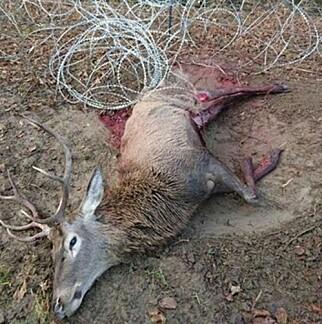 FANGET: Denne hjorten døde etter å ha satt seg fast i et piggtrådgjerde på grensen mellom Slovenia og Kroatia. Foto: Dejan Kaps / Norsk institutt for naturforskning