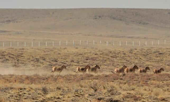 VANSKELIG Å KRYSSE: Asiatisk villesel på grensen mellom Kina og Mongolia kommer seg ikke forbi gjerdet. Ifølge forskning skaper grensegjerder særlig vanskeligheter for dyr på vandring mellom beiteområder. Foto: Petra Kaczensky / Norsk institutt for naturforskning