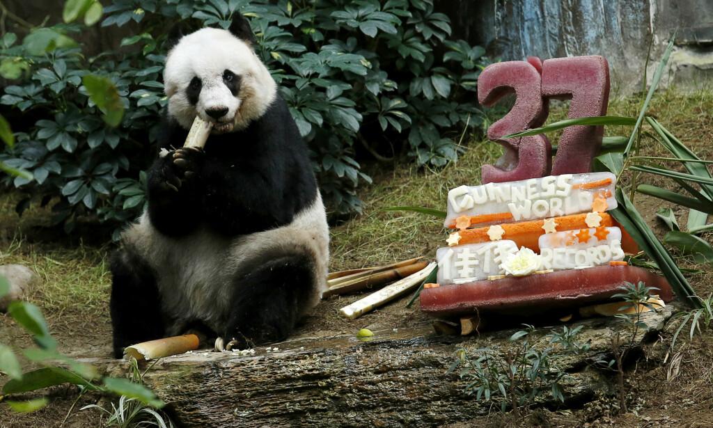 VERDENS ELDSTE: Jia Jia fylte feiret 28. juli i fjor 37-årsdagen med en iskake verdig en kjempepanda i sitt hjem i en temaparken Ocean Park i Hongkong. Kjempepandaen ble samtidig verdens eldste av sitt slag i fangenskap. Foto: Bobby Yip / Reuters / NTB scanpix