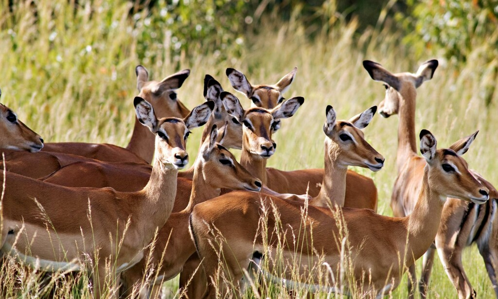Gaseller: Disse flotte dyrene kan både drepes, spises, flås eller stoppes ut. Foto: Maurizio Borgese / Hemis.fr / NTB scanpix