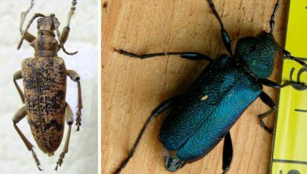 LØVTRELØPER OG BLÅBUKK: Disse insektene er blant de vanligste å få inn i stua. Foto: wikipedia og fotki.com