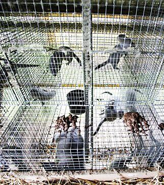image: Forbyr gruppehold av mink
