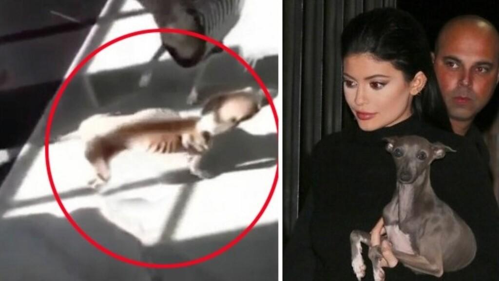 SKAL ETTERFORSKES: Reality-stjernen Kylie Jenner har ifølge TMZ havnet i amerikanske dyrevelferd-myndigheters søkelys. Flere fans skal ha reagert på hvor tynn hunden Bambi er. Her er Kylie fotografert med en av sine andre italienske mynder, Norman, tidligere i høst.
