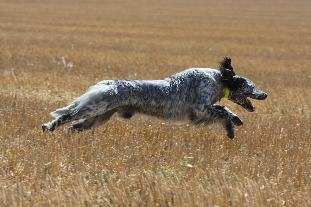 I FULL FART: Det er kanskje en Greyhound som har satt rekorden i verdens lengste hopp gjort av en hund. Men engelske settere er ganske spreke de også. Foto: Didier Sement / Biosphoto/ARDEA/Ardea/All Over Press