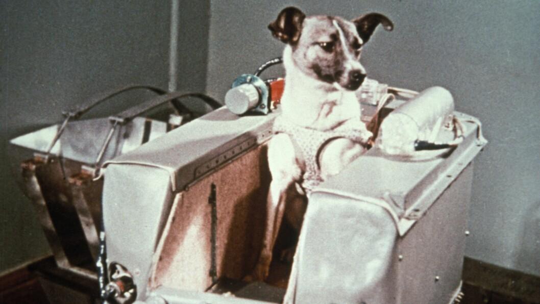 SKREV HISTORIE: Russiske Laika var en løshund som ble hentet inn fra Moskvas gater. Deretter ble hun trent sammen med to andre hunder før hun ble sendt ut i verdensrommet 3. november 1957. Foto: REX/Sovfoto / Universal Images G/All Over Press
