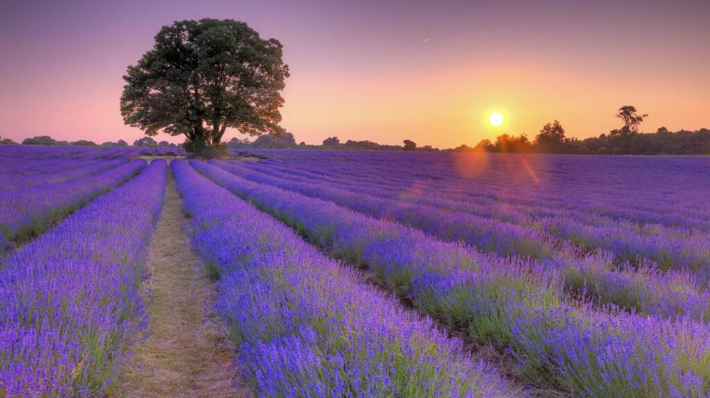 IDYLL: Lavendelåkrene i Provence er blant det vakreste som finnes. Foto: All Over