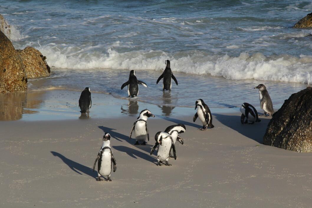 PINGVINER: Det er ikke bare giraffer og elefanter som lever i Afrika. Ved kysten utenfor Cape Town finnes det også flere pingvinkolonier. Foto: Anders Johan Stavseng