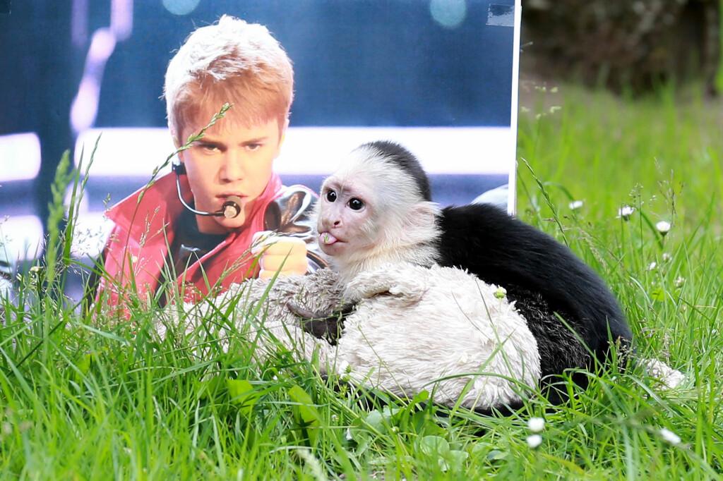 SAVN: Justin Bieber prøvde å få med seg kjæledyret sitt, apen Mally, med seg inn i Tyskland, da han var på turné tidligere i år. Men ettersom Bieber ikke hadde papirene i orden, måtte lille Mally bli satt i karantene. Bieber har aldri hentet sin tobeinte venn - og skylder ifølge Associated Press Tyskland 70 000 kroner i omkostninger for apekatten. Foto: A-way! / Splash News/ All Over Press