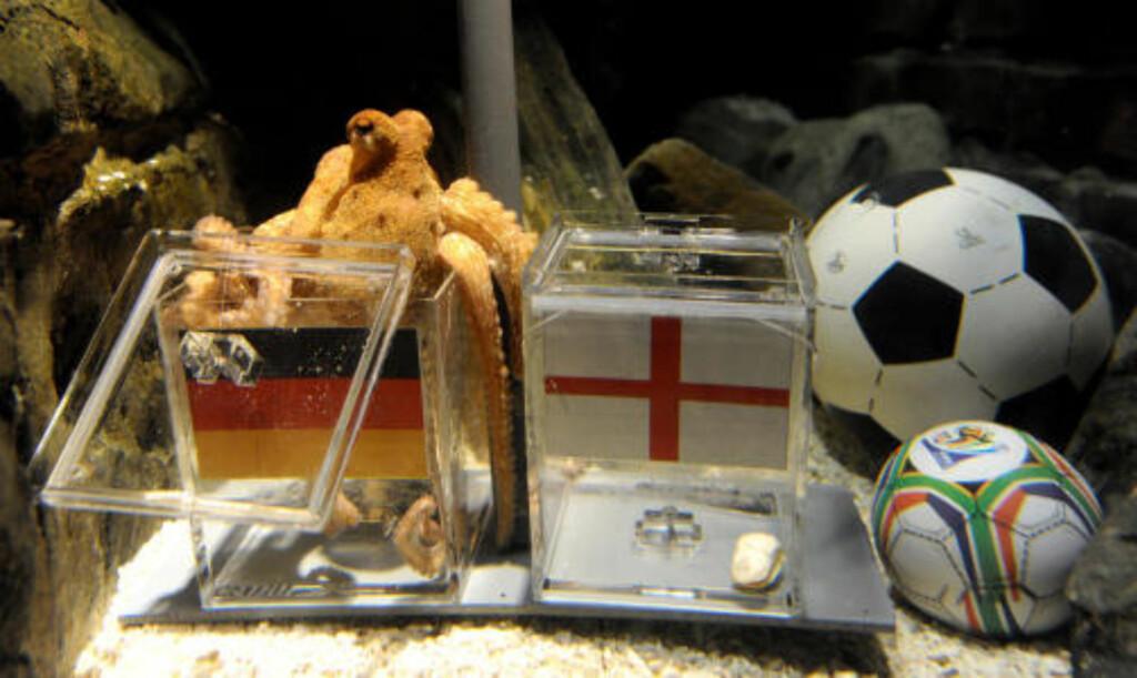 GOD TIPPER: Blekkspruten Paul plukket ut hjemlandet Tyskland som vinner mot fødelandet England foran åttedelsfinalen i VM. Og fikk selvsagt rett. Foto: Volker Hartmann, AP/Scanpix