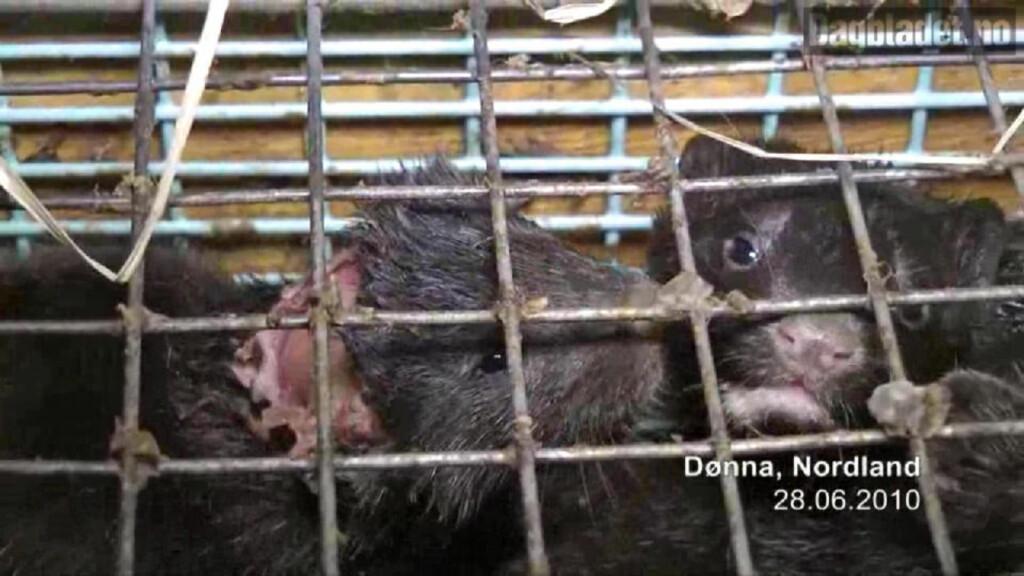 INGEN STØTTE: Flere partier vil nå, etter Dyrebeskyttelsens avsløringer, fjerne pengestøtten til pelsdyrsnæringen. Senterpartiet er nølende. Foto: Dyrebeskyttelesen og Nettverk for dyrs frihet