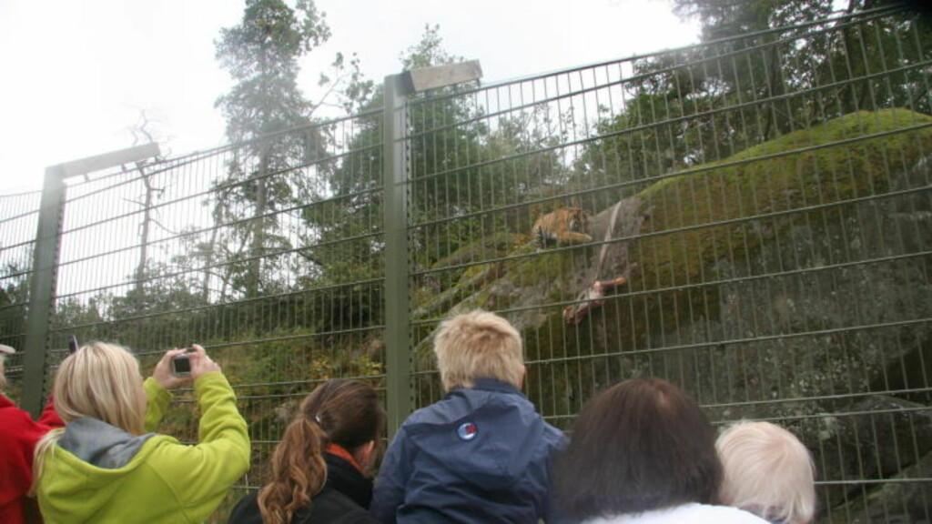 AMURTIGER:  Se amurtigrene mates søndager klokken 12. 30. Mens ulvene mates lørdager kl 12.30. Foto: Kirsten Margrethe Buzzi/Dagbladet