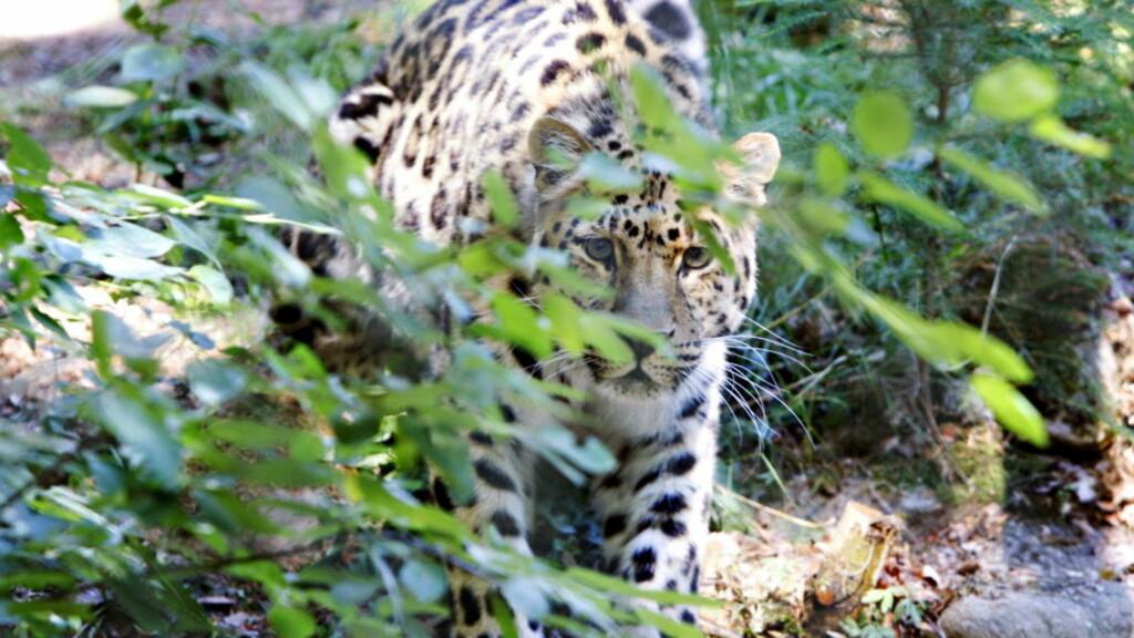 NORDENS ARK:  Opplev snøleopardene i dyreparken Nordens Ark i Bohuslän. Parken er et spennende alternativ for å fotografere dyr i sitt naturlige miljø.   Foto: Frank Karlsen / Dagbladet