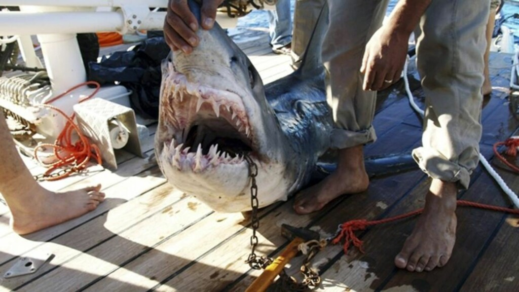 FANGET: Her er makrellhaien som skal ha angrepet og skadet fire turister i den egyptiske feriebyen Sharm el Sheikh. Foto: Scanpix