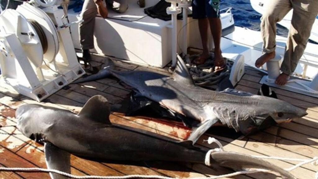 TO ARTER: Haiene som skal ha gått til angrep på mennesker er av artene hvitfinnet hai (t.v.) og makrellhai. Disse holder seg vanligvis ute i åpent hav. Foto: EPA