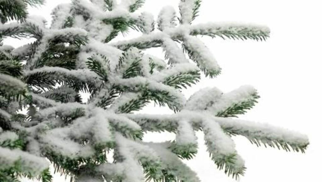 GRADVIS TILNÆRMING: Treet er i dyp hvile ute i minusgradene. Ikke gi det sjokk, men akklimatiser det før det kommer inn i stua. Illustrasjonsfoto: www.colourbox.com