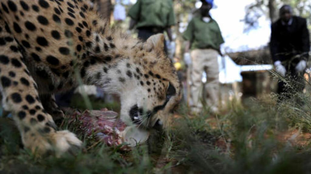 OM NOM NOM: Den nordafrikanske geparden, som forskere har knipset et bilde av i Niger, skiller seg utseendemessig fra de andre gepardartene i Afrika. Dette er «Usain», oppkalt etter sprintstjernen fra Jamaica, som spiser middag i et dyresenter i Nairobi.  AFP PHOTO / Tony KARUMBA