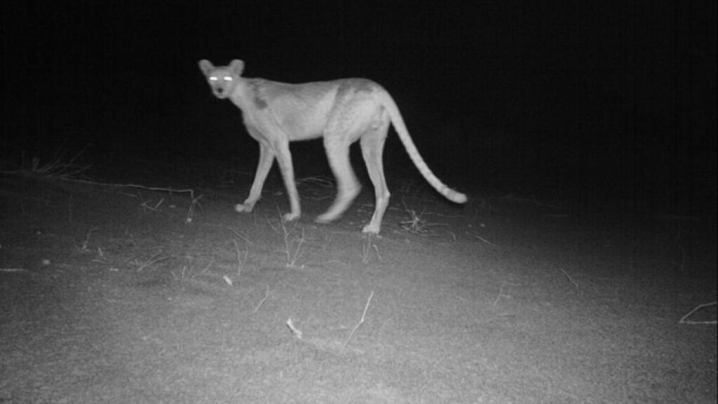 SPØKELSESGEPARDEN: Ved hjelp av en fotofelle har forskere for første gang fotografert en nordafrikansk gepard i det vestafrikanske landet Niger. Det finnes trolig bare rundt 200 individer av arten i hele verden, og dette er en av svært få bilder som noensinne er tatt tatt av det sjenerte kattedyret. Foto: Sahara Conservation Fund (SCF)