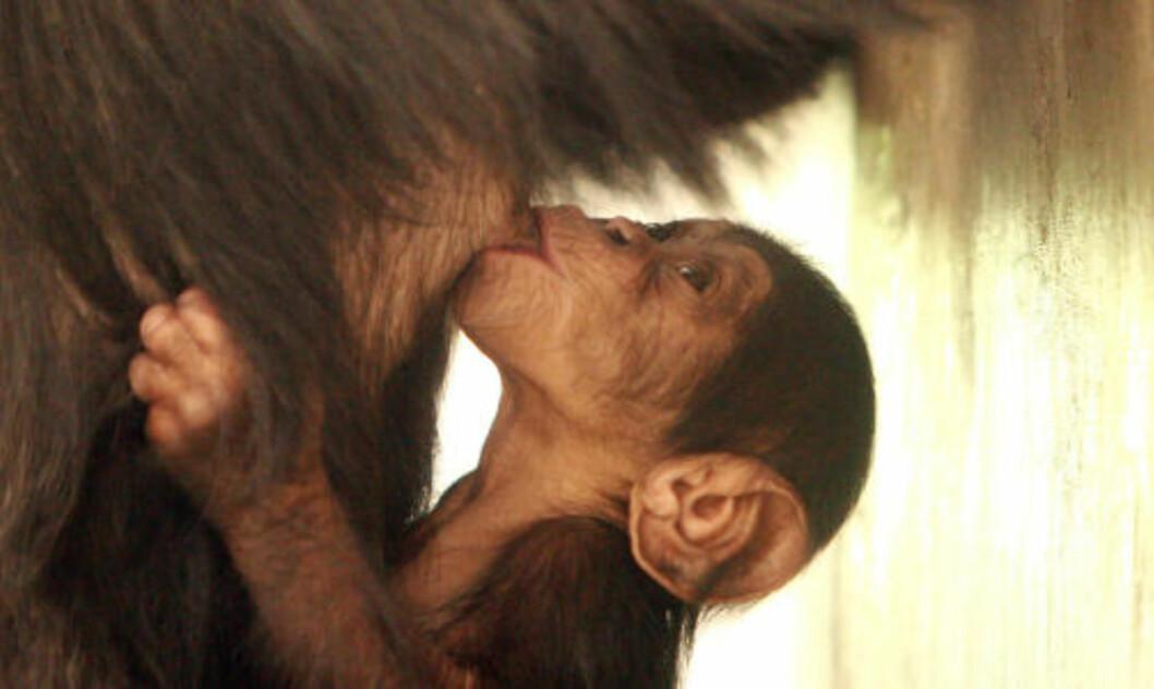 <strong>GÅR ETTER NYFØDTE:</strong> Unge sjimpanser som fortsatt er avhengig av mor ble drept i nesten alle de observerte angrepene. Forskerne mener dette skyldes at de er lettere mål. Foto: AFP/SCANPIX