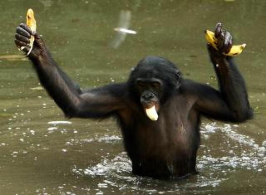 <strong>LEVER I FRED:</strong> Bonoboer, i motsetning til den andre sjimpansearten, lever imidlertid fredelig, selv om begge er menneskets nærmeste nålevende slektning. Forskerne advarer derfor mot å bruke studien til å konkludere omkring menneskets krigføring. Foto: REUTERS/Goran Tomasevic/SCANPIX