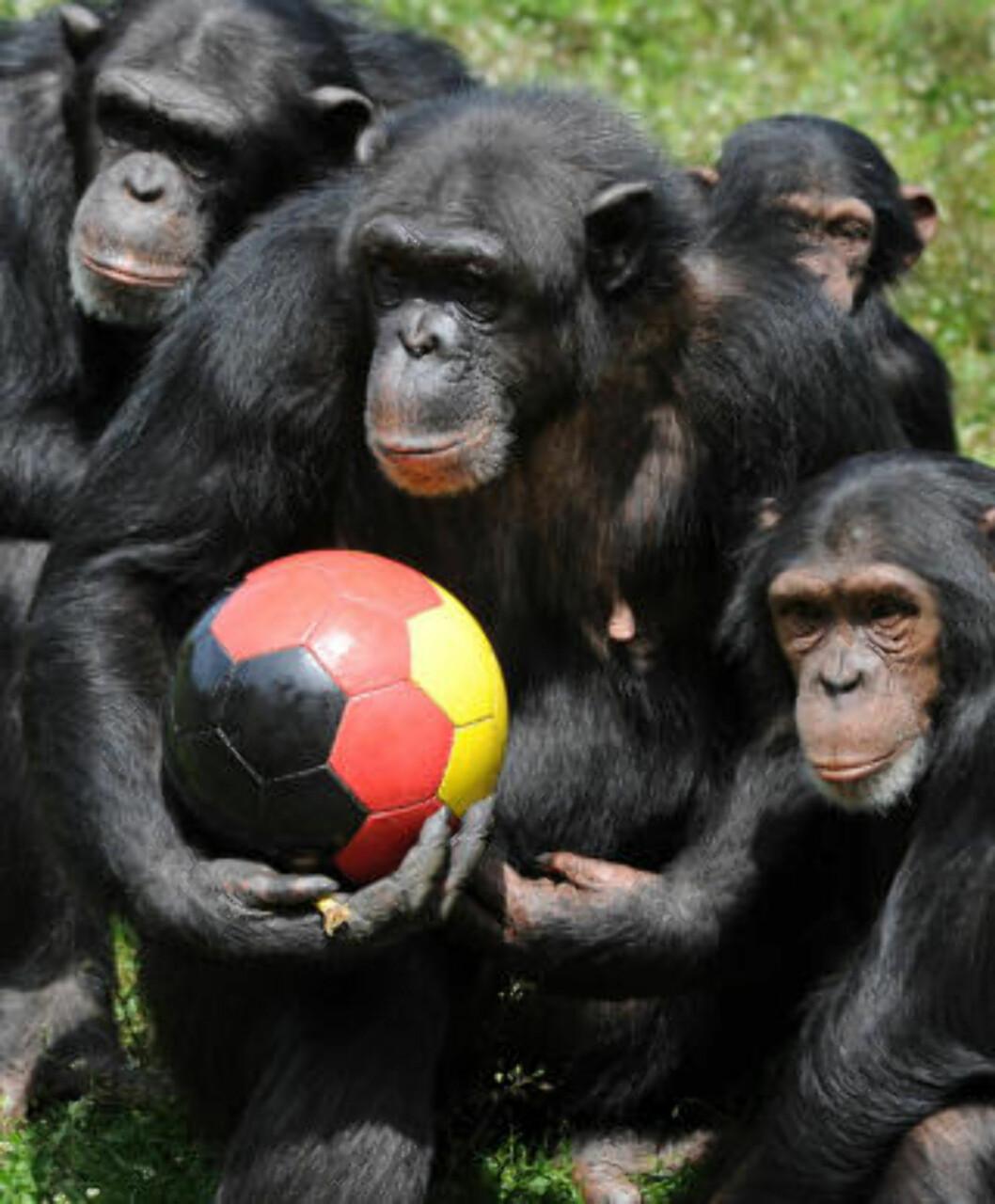 <strong>SAMARBEIDER:</strong> Sjimpanser bor i grupper og samarbeider for å overleve. Forskerne bak studien mener resultatene kan si noe om opprinnelsen til denne egenskapen. Foto: AFP PHOTO/PETER STEFFEN/SCANPIX